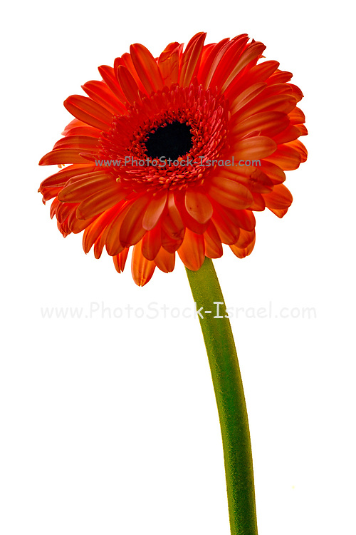 Red Barberton daisy is the common name for the Gebera Jamesonii, also known as the Transvaal or Gerbera daisy. The large range of striking flower colors has enabled this flowering pot plant to become a popular house plant choice for a number of years.