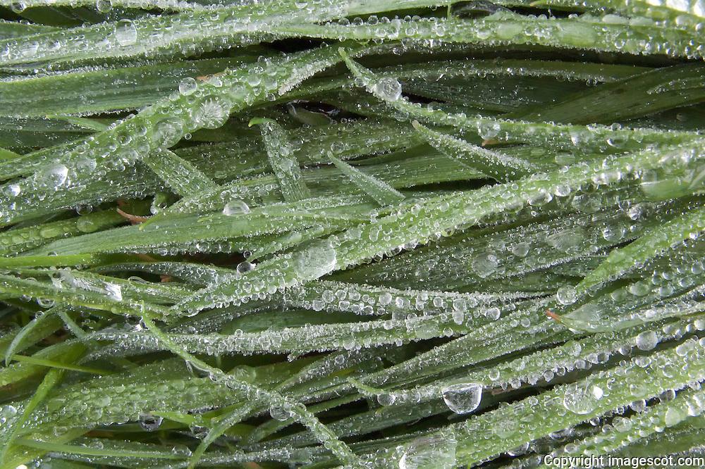 Frozen raindrops grass