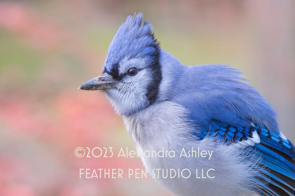 Blue jay (Cyanocitta cristata) sports fluffed feathers on cool late autumn day.