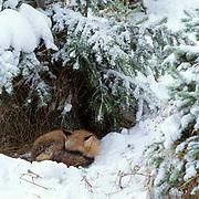 Red Fox, (Vulpus fulva) Curled up sleeping under Snowy pine bough. Winter. Captive Animal.