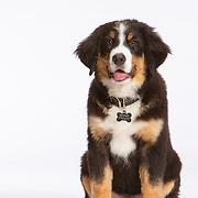 20160810 Martha Bernese Puppies