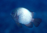 UNDERWATER MARINE LIFE HAWAII FISH: Damselfish Pomacentridae