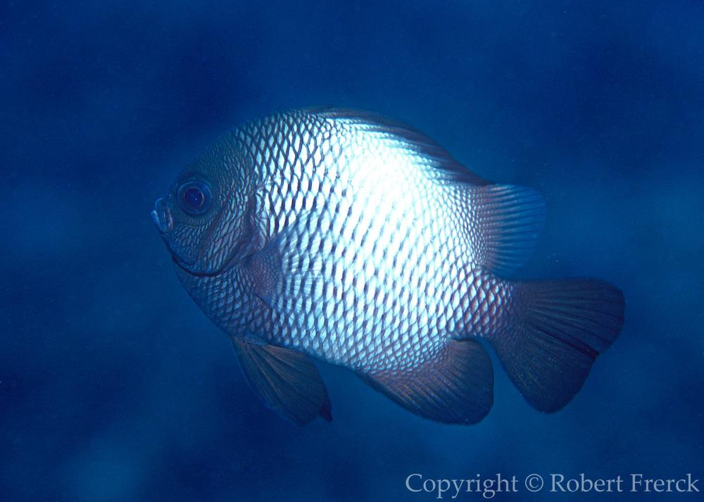 UNDERWATER MARINE LIFE HAWAII FISH: Damselfish Pomacentridae