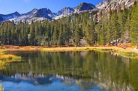 Lodge Pole Pines, Sierra Mountains