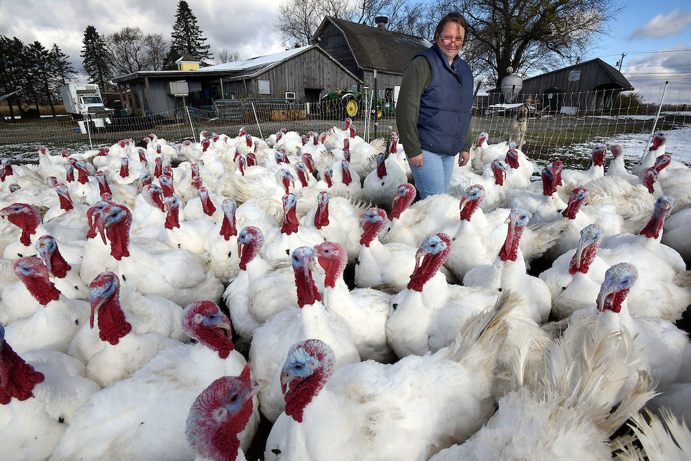 (Photo by Mara Lavitt)<br /> November 14, 2014<br /> The Ekonk Hill Turkey Farm, Moosup is owned and run by the Hermonot family. Elena among some of the 3,000 turkeys, mostly broad-breasted whites.<br /> mara@maralavitt.com