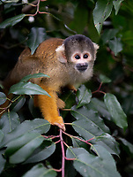 Bolivian black-capped squirrel monkeys at the ZSL London Zoo Annual Stocktake in London, England. Thursday 2nd January 2020
