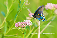 03004-01619 Pipevine Swallowtail (Battus philenor) on Swamp Milkweed (Ascelpias incarnata) Marion Co. IL