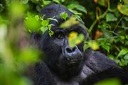 A non-habituated silverback mountain gorilla (Gorilla beringei beringei) sitting peacefully on the forest floor, Bwindi Impenetrable Forest, Uganda, Africa