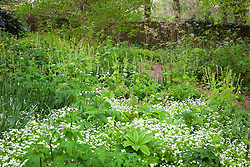 Woodland froth at Glebe Cottage with <br />Galium odoratum (sweet woodruff), Ranunculus aconitifolius (White bachelor's buttons) and Tellima grandiflora