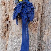 Hyacinth Macaw at the entrance to its nesting cavity. Pantanal, Brazil.