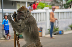March 26, 2019 - Bogor, Indonesia - A Long-Tailed Monkey (Macaca fascicularis) performs an attraction on the Egrang during a ''Monkey Mask'' street show in Kampung Panaragan, Bogor, West Java, Indonesia. Although it was banned in a number of areas and criticized by animal protection organizations, monkey exploitation was still being carried out. (Credit Image: © Rangga Firmansyah/NurPhoto via ZUMA Press)