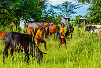Children in uniform walking to school through grazing cattle, Uganda.