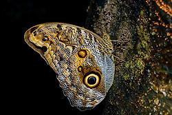 Bananenfalter (Caligo illionius), Costa Rica,  Carara Nationalpark / Dusky Giant Owl Butterfly (Caligo illionius), Costa Rica,  Carara National Park