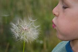 United States, Oregon, Sunriver, boy (age 5) blowing dandelion flower.  MR
