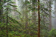 Redwood trees in the Del Norte Coast Redwoods State Park on the Damnation Creek Trail