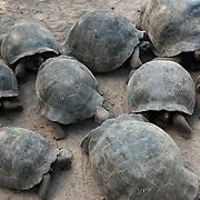 A group of Giant Tortoises (Geochelone elephantopus) huddled together inside the Isabela breeding center. Galapagos, Ecuador.