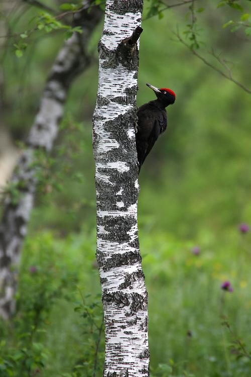 Black Woodpecker (Dryocopus martius), Bieszczady Mountains. Poland