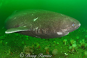 Greenland sleeper shark ( Somniosus microcephalus )<br /> swims over plumose or frilled anemones<br /> ( Metridium senile ) St. Lawrence River estuary Canada<br /> (this shark was wild & unrestrained; it was not hooked<br /> and tail-roped as in most or all photos from the Arctic)