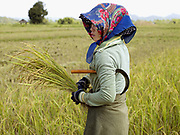 Hmong ethnic minority woman in Ban Nam Puong harvesting paddy rice with a sickle, Vientiane province, Lao PDR
