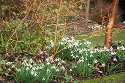 Galanthus 'Limetree' growing under Cornus sanguinea 'Midwinter Fire' (Dogwood)