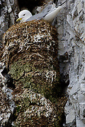 Black-legged Kitti Wake (Rissa tridactyla) nesting in the bird cliff at Vestre Burgerbukta, Hornsund, south-western Spitsbergen, Svalbard. Do note the tall nest pillar, which is very old and where a new nest is built on top of last year's nest.