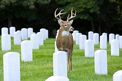 A deer watches over the cemetery keeping an eye on departed souls at Jefferson Barracks National Cemetery. Almost seemingly stopping at each headstone and pausing to reflect at each grave, this buck gave a sense of serenity and calm.