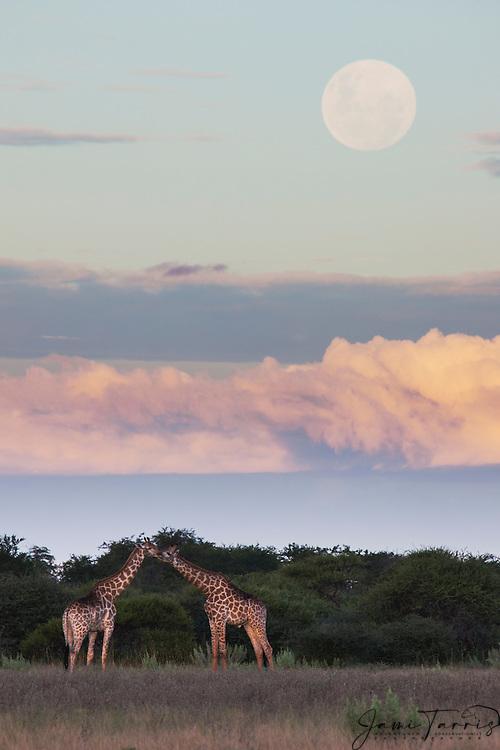 A pair of southern giraffes (giraffa camelopardalis) grazing beneath the full moon in a cloudy Kalahari sky in the wet season, Kalahari, Botswana, Africa