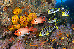 A pair of Splendid Soldierfish, Myripristis botche, hover among a school of Oriental Sweetlips, Plectorhinchus vittatus, surrounded by colorful cup corals and soft corals on a rocky reef. Andaman Islands, Andaman Sea, India