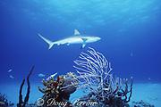 Caribbean reef shark, Carcharhinus perezi, swims over patch reef, New Providence, Bahamas ( Western Atlantic Ocean )