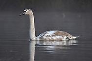 Mute Swan - Cygnus olor - juvenile