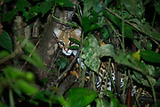 Ocelot (Leopardus pardalis)<br /> Yasuni National Park, Amazon Rainforest<br /> ECUADOR. South America<br /> HABITAT & RANGE: Variety of habitats in Central and South America and into the SW USA.