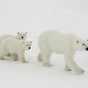 Polar Bear cubs near their mother at Cape Churchill, Manitoba, Canada.