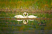 NUMBER 8 | Trumpeter swans (Cygnus buccinator) - the largest North American waterfowl - on a secluded forested lake in mountaints of northern Montana.