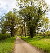 Narrow  tarmac country lane road avenue through oak trees, Sutton, Suffolk, England, UK
