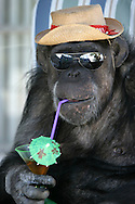 EXCLUSIVE 24th June 2008, Palm Springs, California. 76-year-old Cheeta, star of many Hollywood Tarzan films of the 1930s and 1940s, is coming out of retirement. Recognized as the oldest chimpanzee alive, the Palm Springs resident has just signed a record deal. To celebrate the signing, Cheeta made a promo music video to accompany his cover of the 1975 hit song 'Convoy'. PHOTO © JOHN CHAPPLE / www.johnchapple.com <br /> .tel: +1-310-570-9100