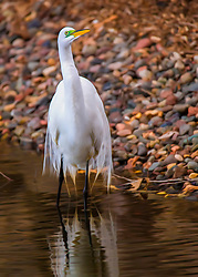 Mr Egret Strikes A Pose Along The Shore