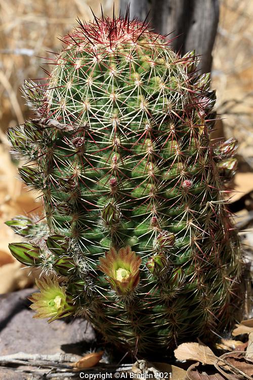 Small-flowered Hedgehog Cactus, Echinocereus viridiflourus var. cylindricus