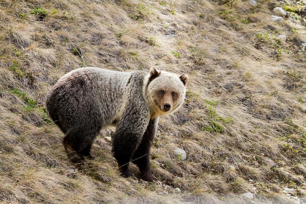 Grizzly bear, blonde, Banff National Park, BNP, Alberta, Canada.