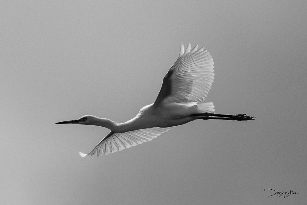 Boca Raton, FL - JUNE 13: A Snowy Egret looks for lunch at the Boca Raton (BCT) airport.