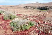 Tough Shrub, Traganum moquinii, & Red Succulent Plant, Landscape Views of Los Molinos, Fuerteventura, Canary Islands, Spain, Chenopodiaceae family. protected species