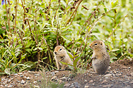 Two curious juvenile Arctic Ground Squirrels (Spermophilus parryii) along the park road in Denali National Park in Interior Alaska. Summer. Afternoon.