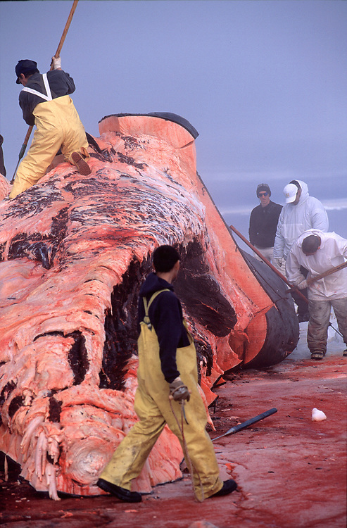 Barrow whalers stripping blubber from a bowhead whale and harvesting the meat