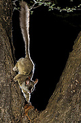Lesser bushbaby (Galago senegalensis)<br /> Marakele Private Reserve, Waterberg Biosphere Reserve<br /> Limpopo Province<br /> SOUTH AFRICA