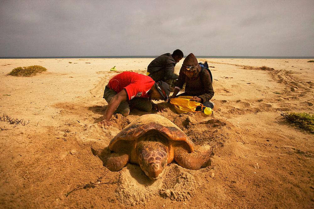 08/Septiembre/2014 Cabo Verde Boa Vista.<br /> Una tortuga desovando en la playa de Joao Barrosa bajo la atenta mirada de los técnicos.<br /> <br /> © JOAN COSTA