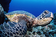 green sea turtle, Chelonia mydas, resting on bottom, <br /> Turtle Pinnacles, Kaloko Honokohau, Kona, Hawaii, United States ( Central Pacific Ocean )