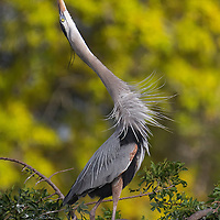 An adult great blue heron points beak to the sky and sounds the mating call. Venice Audubon Rookery, Venice, Florida