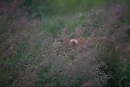 A bears ear shows through tall grasses in Brooks Camp, Katmai National Park