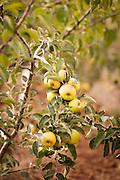 Wandering Aengus apple orchard in Salem, Oregon.