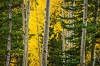 Aspen trees in peak Fall color and pine trees fill the mountainside and illuminate the day near Ouray along the million dollar highway in Southwest Colorado.