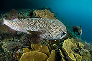 Porcupinefish (Diodon hystrix)<br /> Raja Ampat<br /> West Papua<br /> Indonesia